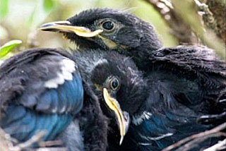 The Tui imagery in this story is copyright to photographer Jason Hosking www.jasonhosking.com