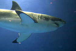 A great white shark tagged by Niwa has set a world...