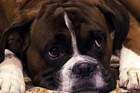 An intruder killed the family's four-year-old boxer dog in Christchurch (Reuters file pic)