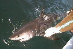 Shark researchers are excited by the discovery of ...