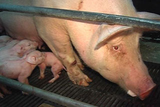 SAFE says the use of sow crates at pig farms is illegal 