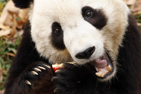 Giant pandas are one of the most endangered species on earth (Reuters)