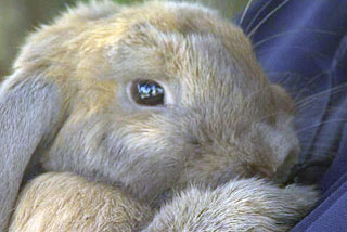 Larry the lop-eared rabbit