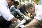 Workers from Fauna and Flora International take a blood sample from crocodile at Phnom Tamao wildlife centre (Reuters)