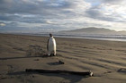 The Emperor penguin on the Kapiti Coast