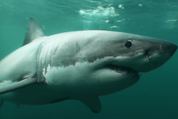 A record 27 great white sharks have been tagged by...