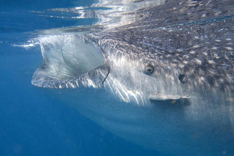 A whale shark swims in the Caribbean Sea in Isla Mujeres (Reuters)