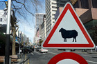 1000 sheep were expected to run through the CBD's main street