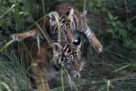 Three-month-old Sumatran tiger cubs Taru and Asim play at their enclosure at the zoo in Frankfurt (Reuters)