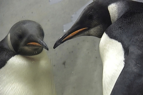 Happy Feet has left the comforts of Wellington Zoo and is now onboard NIWA's ship Tangaroa 