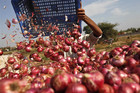 A farmer loads onions on a trolley in a vegetable field in Pimpalgaon, north of Mumbai (Reuters)