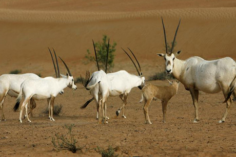 Arabian Oryx walk in Al Maha Desert Resort and Spa in Dubai (Reuters)