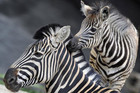 The zebras left their enclosure for 40 minutes (Reuters)