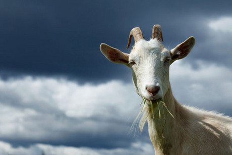 Colorado officials have disqualified the grand champion goat from this year's State Fair