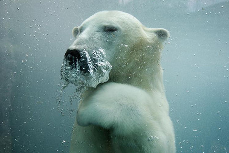 Polar bears have become a spokesanimal for climate change as rising temperatures melt their sea ice habitat (Reuters)