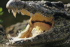Saltwater crocodiles can grow to up to seven metres long and are the world's largest reptile