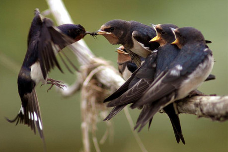 Barn swallows (Reuters)