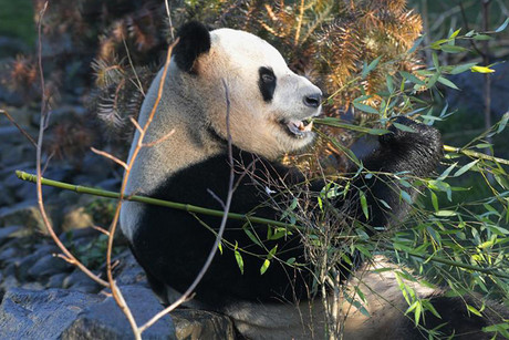 Yang Guang, a male giant panda, eats bamboo as he sits in his new enclosure at Edinburgh Zoo (Reuters)