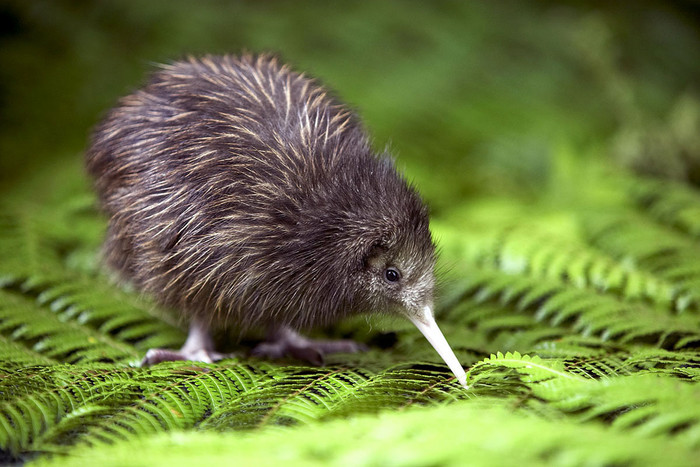DOC is hoping to hear the patter of tiny kiwi feet (file pic)