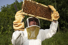 Several Coromandel beekeepers say their manuka honey production is less than half of last year's (file)