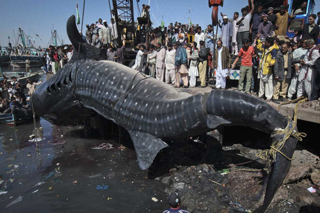 Residents gather as the whale shark is pulled from the water by cranes after it was found dead at Karachi's fish harbour (Reuters)