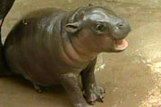 The baby pygmy hippo