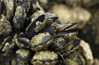 A Tauranga mussel operation will continue (file)