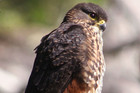 A New Zealand falcon (Tony Wills/Wikipedia)