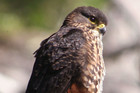 The karearea or New Zealand falcon (Photo: Tony Wills)