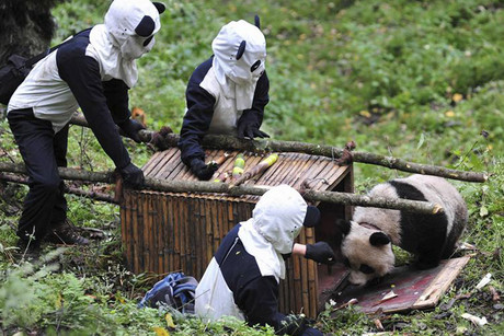 Panda outfit-clad researchers wait for giant panda Taotao to get into a cage (Reuters)