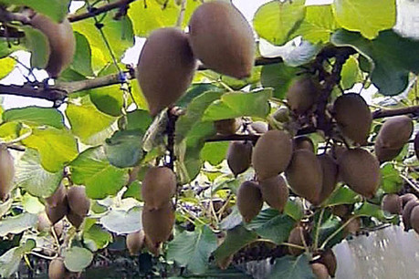 Kiwifruit in Hawke's Bay has been found with PSA (file)