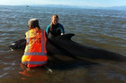 Project Jonah rescues stranded whales  (file)