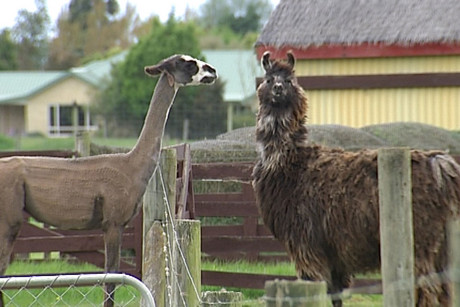 The shipment of 31 llamas and alpacas is costing the Taiwanese more than $200,000
