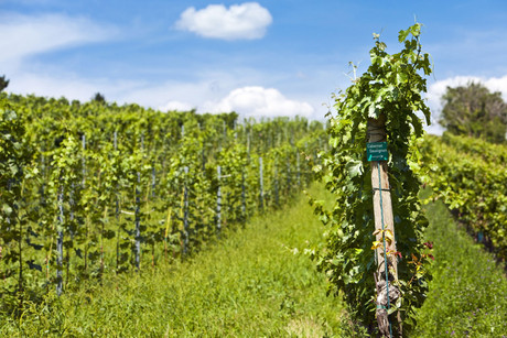 The European wine harvest accounts for 62 percent of worldwide wine production