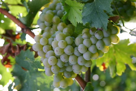 It was only three years ago that chardonnay vines were being pulled out, as fickle consumers moved to wine made from such grapes as pinot gris