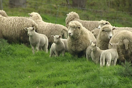Bruce Wills says one of his ewes has had quintuplets