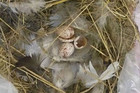 The nest was made contained two hatched eggs and two whole eggs