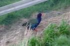 Takahe were once considered extinct