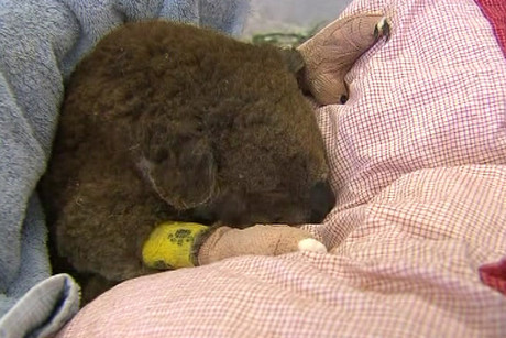 One of the injured koalas