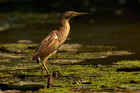 A yellow bittern wades through a swamp