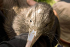 The two dead kiwi were found on the Hihi Peninsula (file)