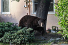 Meatball the bear in a residential garden (Photo: TheGlendaleBear/Twitter)