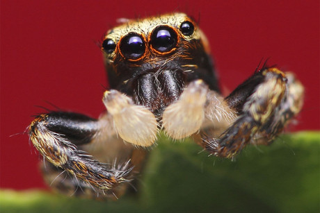The jumping spider survived space, but not retirement (file pic)