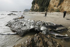 The dead fin whale lies rotting on a Malibu beach near luxury homes (Reuters)