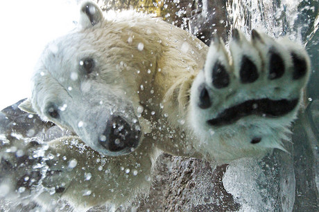 Climate change is the primary threat against polar bears, according to the WWF (Reuters)