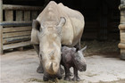 The baby rhino is the sixth to be born at the zoo (photo supplied)