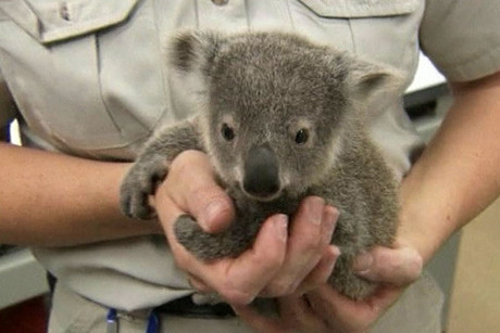 One of the baby koalas at San Diego Zoo