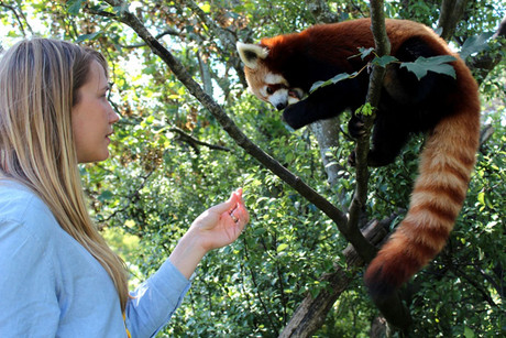 Manasa the red panda at Wellington Zoo