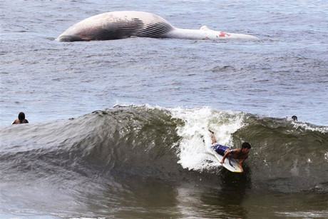 A man surfs in front of the dead Bryde's whale (Reuters)
