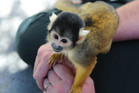 One of the Bolivian Squirrel Monkeys at Wellington Zoo (Photo: Wellington Zoo)